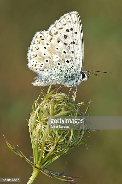 Polyommatus coridon
