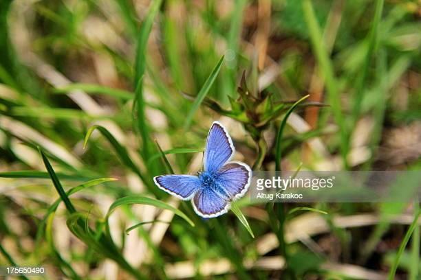 polyommatus icarus - altug karakoc - fotografias e filmes do acervo