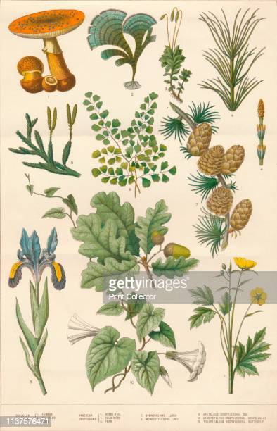 Botanical illustration circa 1880s Plants flowers and fungi found in Britain Cellular cryptograms 1 Fungus 2 Seaweed 3 Moss Vascular Cryptograms 4...
