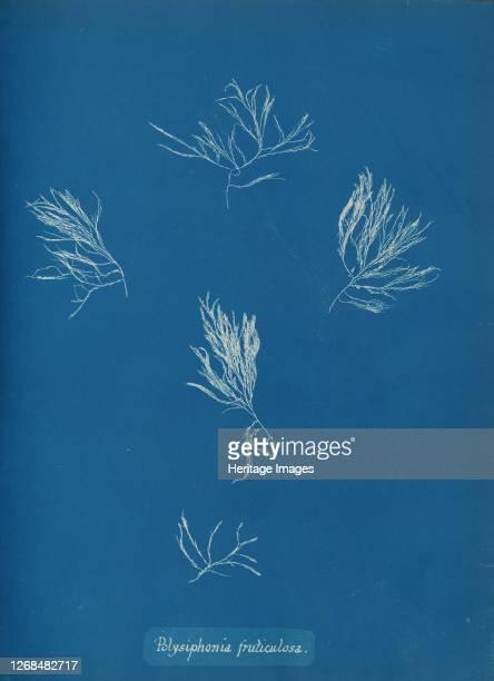 Polysiphonia fruticulosa circa 1853 Artist Anna Atkins