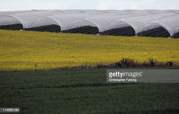 Polytunnels cover a strawberry crop next to a rapeseed field in rural Shropshire on May 11 2011 in Shrewsbury United Kingdom The latest figures from...