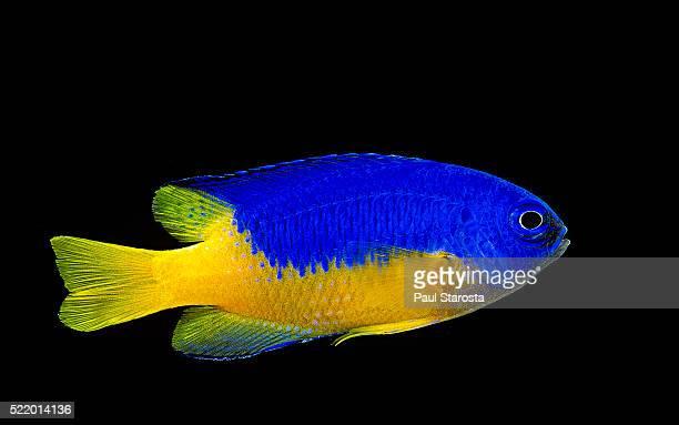 pomacentrus coelestis (neon damselfish) - damselfish stock photos and pictures