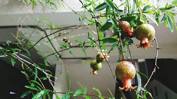 pomegranate fruit hanging on tree with house in background - pomegranate tree stock photos and pictures