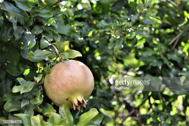 A pomegranate fruit is pictured on a field on the first day of Eid alAdha in southern Kahramanmaras province of Turkey on August 21 2018