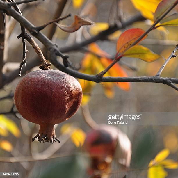 pomegranate fruit on tree branch - dorte fjalland imagens e fotografias de stock