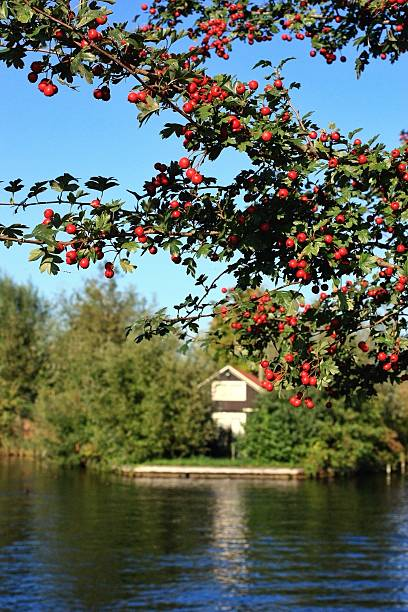 pomegranate growing by lake against clear sky - pomegranate tree stock photos and pictures