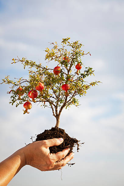 pomegranate growth in human hand - pomegranate tree stock photos and pictures