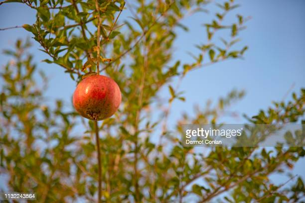 pomegranate hanging from tree - cyclades islands stock pictures, royalty-free photos & images