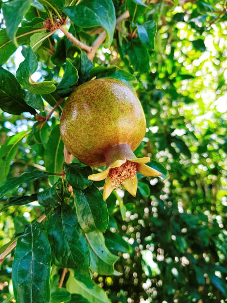 a pomegranate hanging on the pomegranate tree with luminous bokeh - pomegranate tree stock photos and pictures