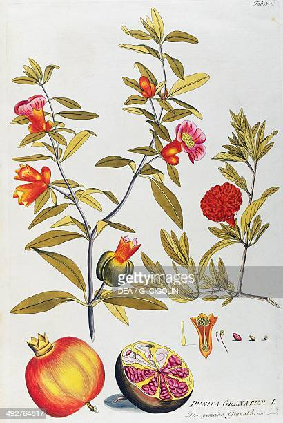 Pomegranate illustration by Joseph Jacob von Plenck from Icones plantarum medicinalium Vienna 18th century Milan Museo Civico Di Storia Naturale