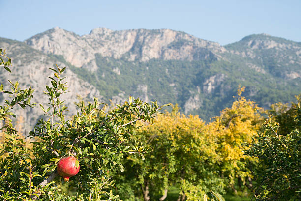 pomegranate on a tree in southern turkey - pomegranate tree stock photos and pictures