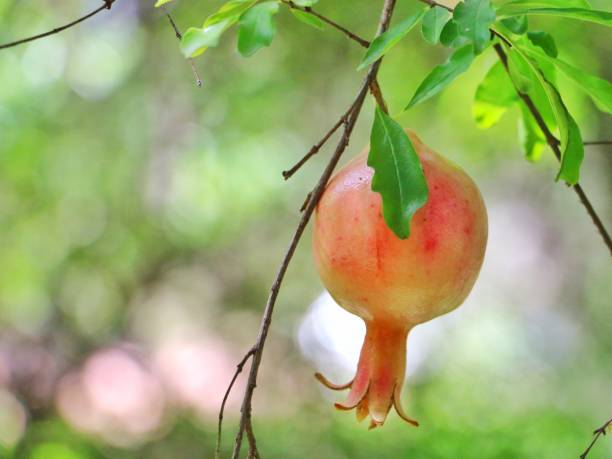 pomegranate on tree - pomegranate tree stock photos and pictures