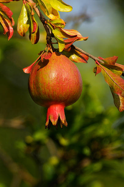 pomegranate (punica granatum) - pomegranate tree stock photos and pictures