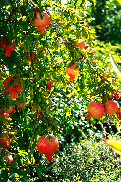 Pomegranate Pomegranates on a pomegranate tree Punica granatum