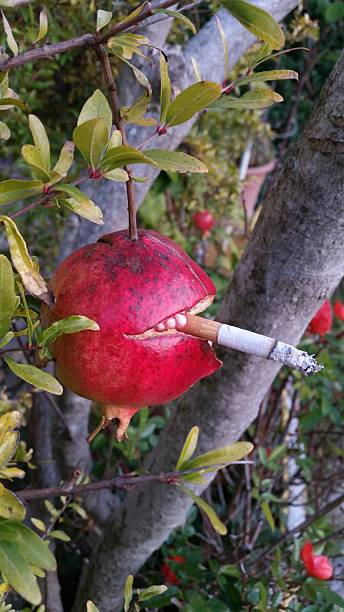 pomegranate smoking - pomegranate tree stock photos and pictures