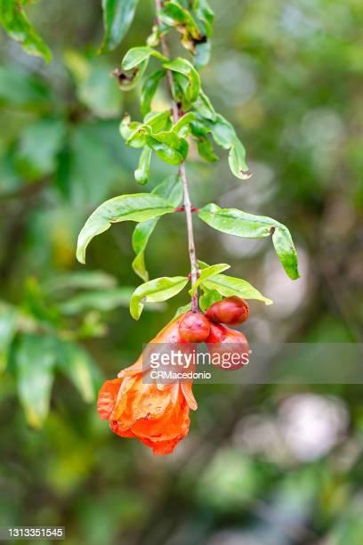 pomegranate sprout. - crmacedonio stock-fotos und bilder