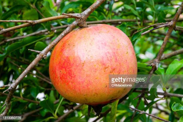 pomegranate, the fruit of the new year - crmacedonio ストックフォトと画像