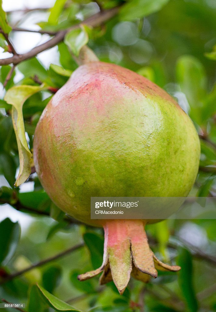 Pomegranate, the fruit of the New Year. : Stock Photo
