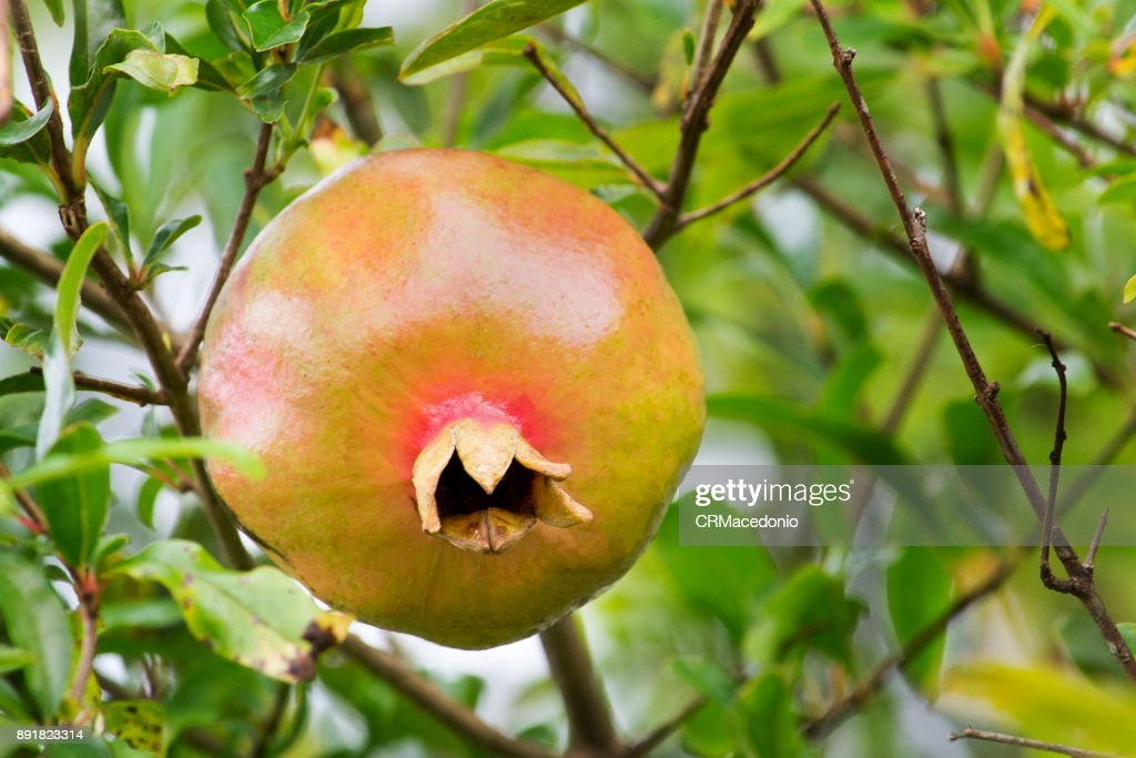 Pomegranate, the fruit of the New Year : Stock Photo