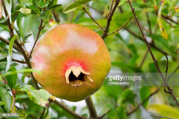 pomegranate, the fruit of the new year - crmacedonio stock photos and pictures