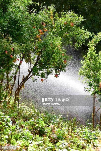 pomegranate tree at a garden - fruit exotique photos et images de collection