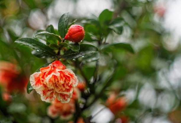 pomegranate tree flower and fruit in rain - pomegranate tree stock photos and pictures