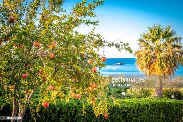 pomegranate tree in the garden in hersonissos, greece, crete - hersonissos photos et images de collection
