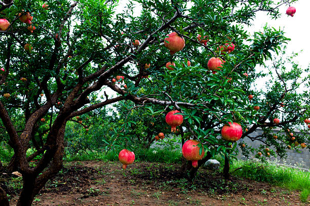 pomegranate trees - pomegranate tree stock photos and pictures
