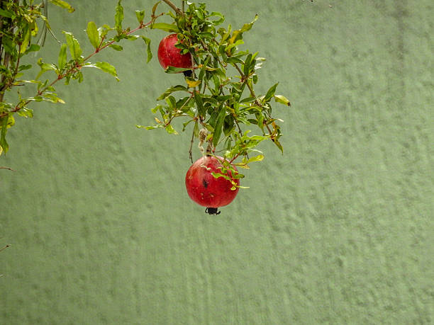 pomegranates growing on tree against wall - pomegranate tree stock photos and pictures