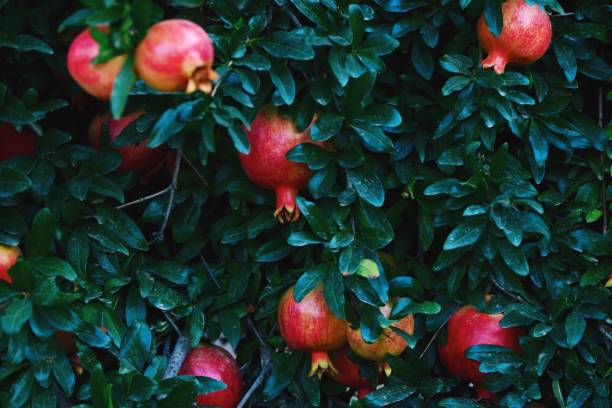 pomegranates growing on tree at farm - pomegranate tree stock photos and pictures