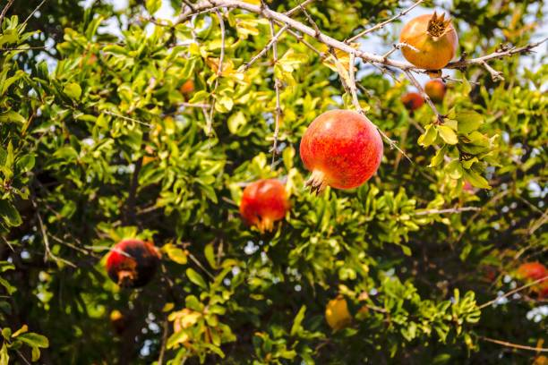 pomegranates growing on tree - pomegranate tree stock photos and pictures