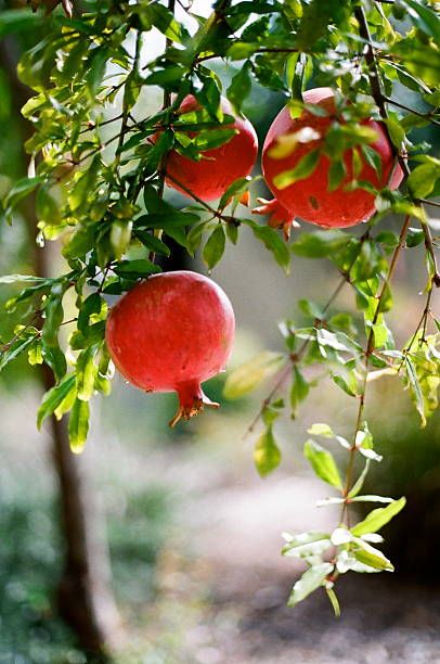 pomegranates in garden - pomegranate tree stock photos and pictures