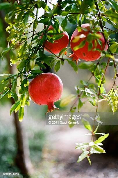 Pomegranates in garden