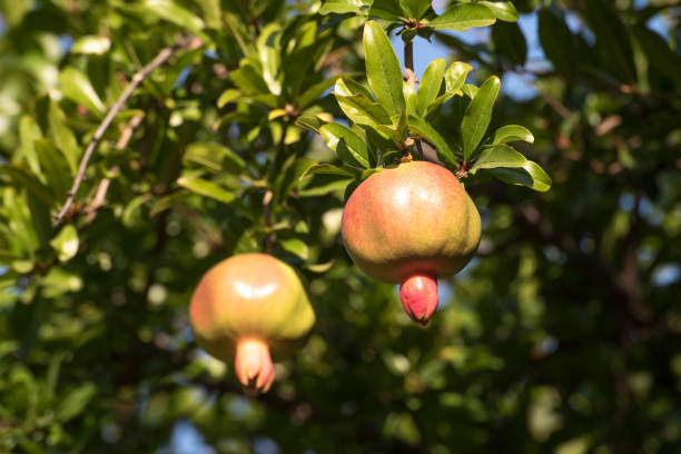 pomegranates on a branch, amasya turkey - pomegranate tree stock photos and pictures