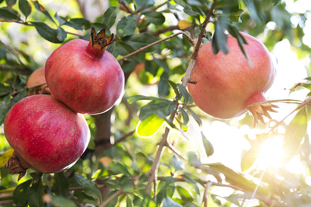 pomegranates on branch - pomegranate tree stock photos and pictures