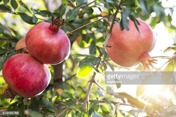 Pomegranates on branch