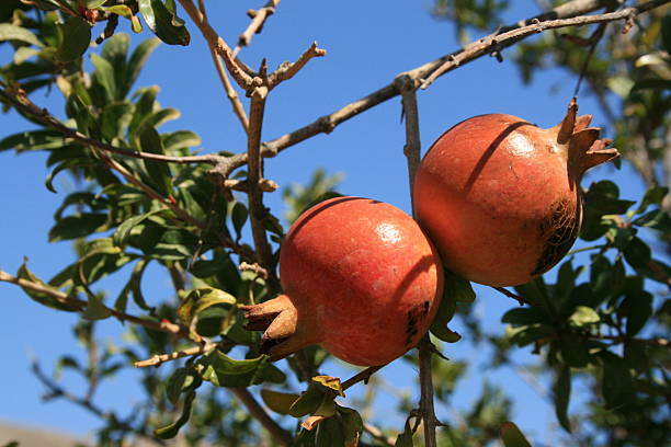 Pomegranates on the pomegranate tree