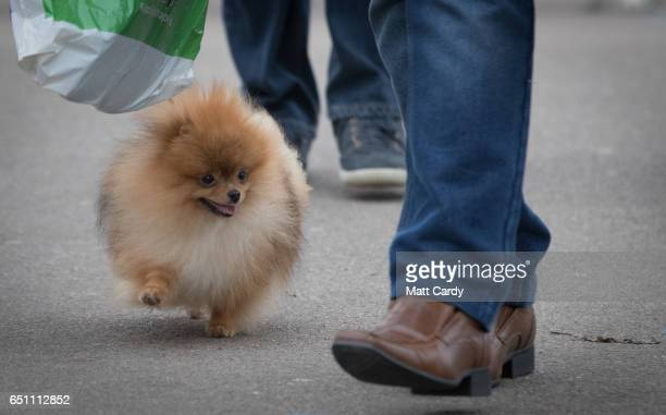 Pomeranian arrives on the second day of Crufts Dog Show at the NEC Arena on March 10 2017 in Birmingham England First held in 1891 Crufts is said to...