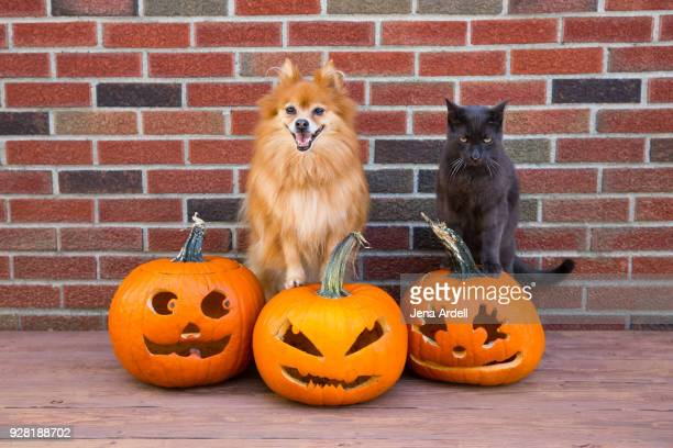 pomeranian dog and cat on jack o lanterns for halloween - halloween cats stock pictures, royalty-free photos & images