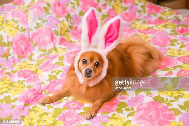pomeranian dog dressed as easter bunny - dog easter stock pictures, royalty-free photos & images
