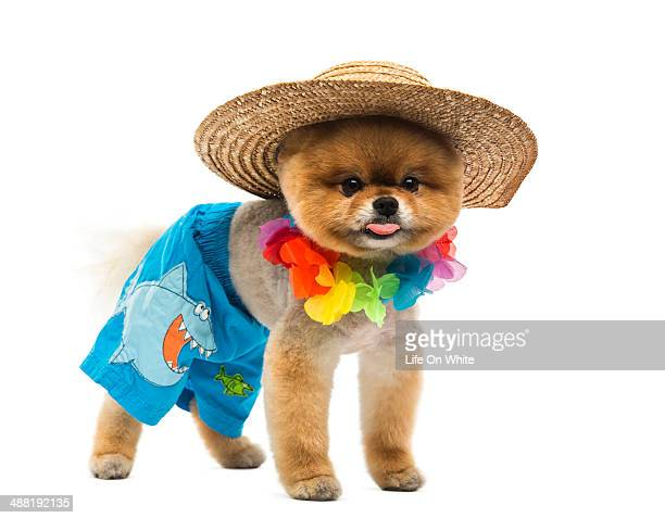 pomeranian dog dressed - pomeranian stock photos and pictures