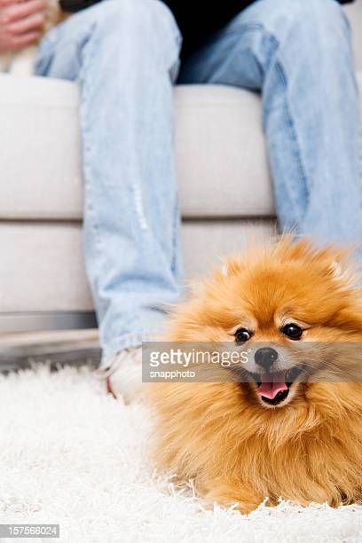 pomeranian dog in front of sofa on soft carpet - pomeranian stock photos and pictures