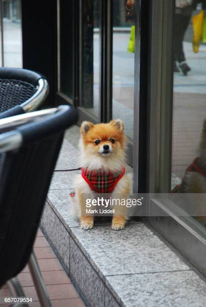 pomeranian dog in tokyo wearing an outfit - japanese spitz stock pictures, royalty-free photos & images