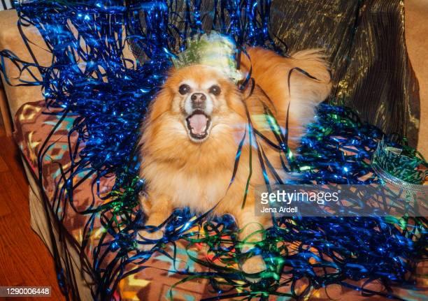 pomeranian dog new years eve celebration, party dog - january stock pictures, royalty-free photos & images
