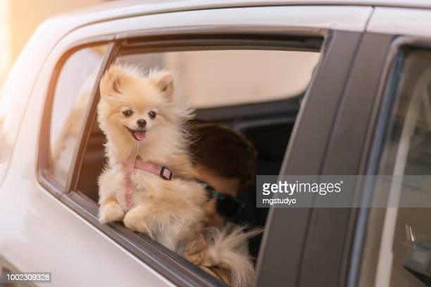 pomeranian dog on the car window, going for travel - pomeranian stock photos and pictures