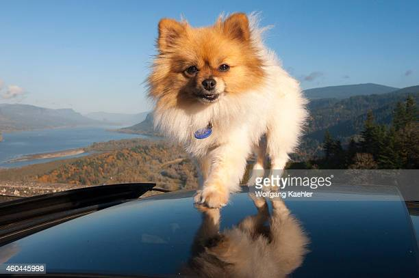 Pomeranian stock photos and pictures getty images pomeranian dog on the roof of a car at the vista house in the fall near thecheapjerseys Image collections
