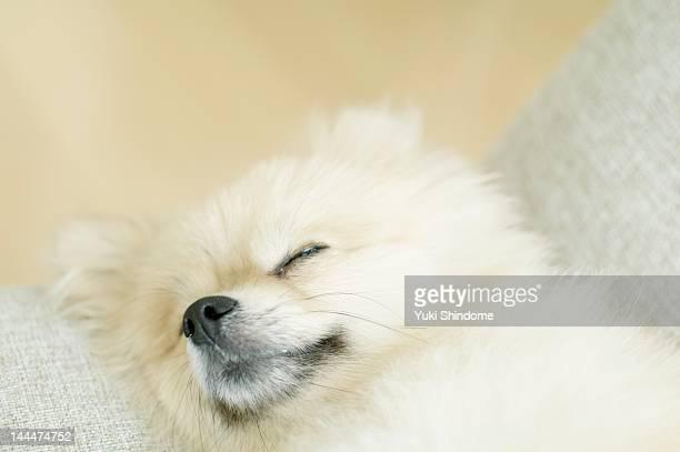 pomeranian dog - japanese spitz stock pictures, royalty-free photos & images