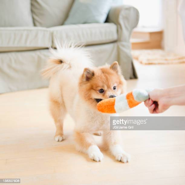 pomeranian dog playing with dog toy - dogs tug of war stock pictures, royalty-free photos & images