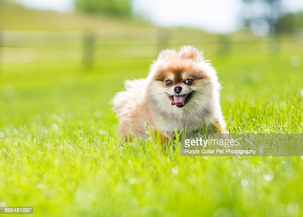 Pomeranian stock photos and pictures getty images pomeranian dog walking through grass altavistaventures Images