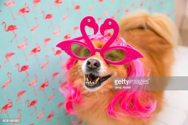 Pomeranian Dog Wearing Glasses Dog Wearing Wig
